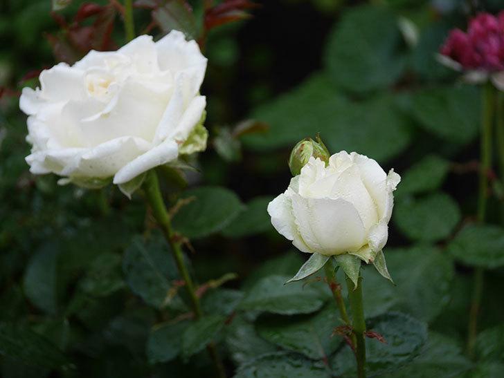 インフィニティローズ (Infinity Rose)(ミニバラ)の花が増えてきた。2020年-011.jpg