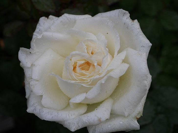 インフィニティローズ (Infinity Rose)(ミニバラ)の花が増えてきた。2020年-013.jpg