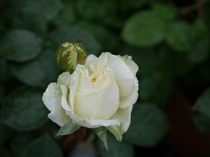 インフィニティローズ (Infinity Rose)(ミニバラ)の花が増えてきた。2020年-014.jpg
