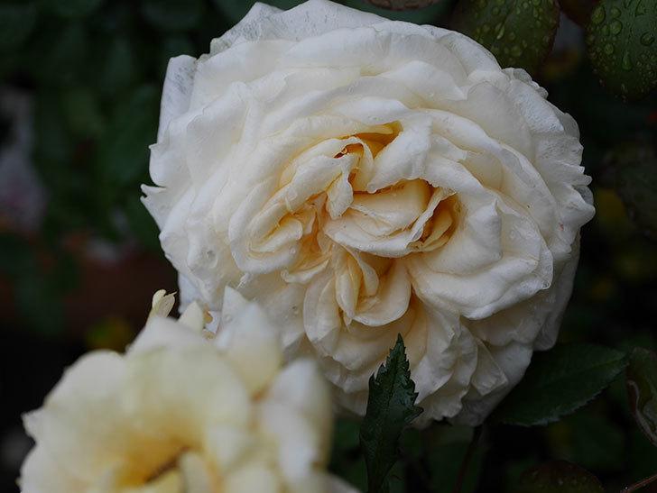 インフィニティローズ (Infinity Rose)(ミニバラ)の花が増えてきた。2020年-015.jpg