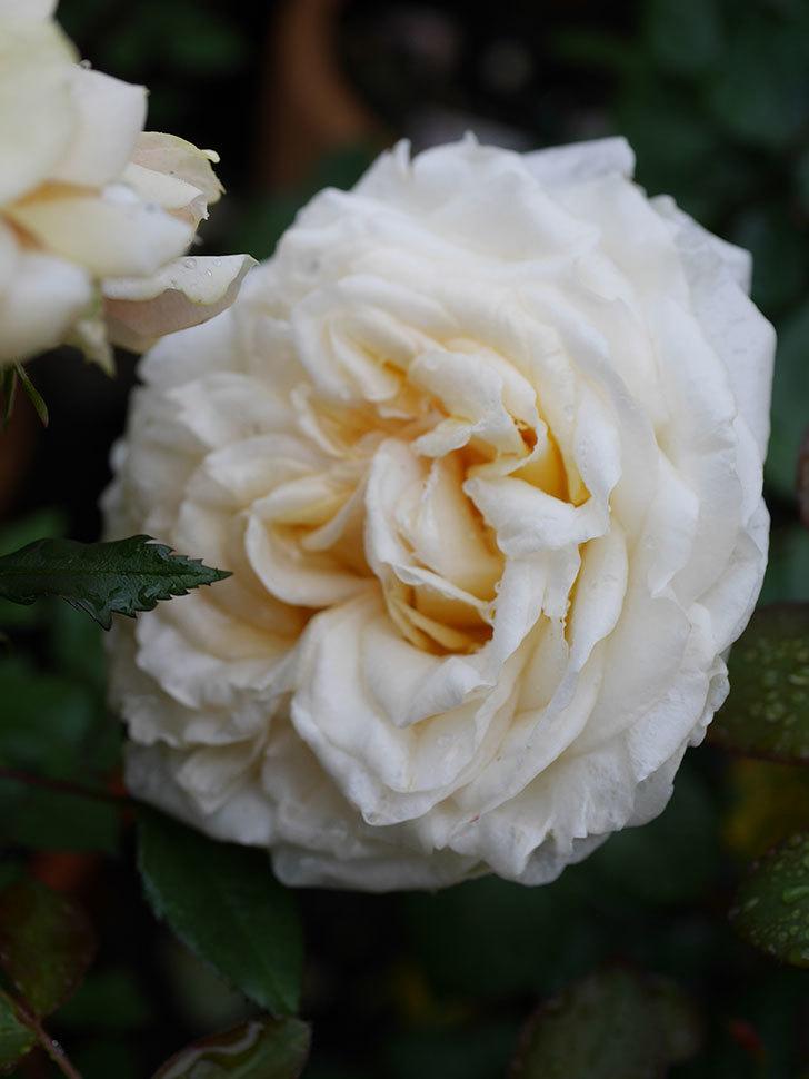 インフィニティローズ (Infinity Rose)(ミニバラ)の花が増えてきた。2020年-016.jpg