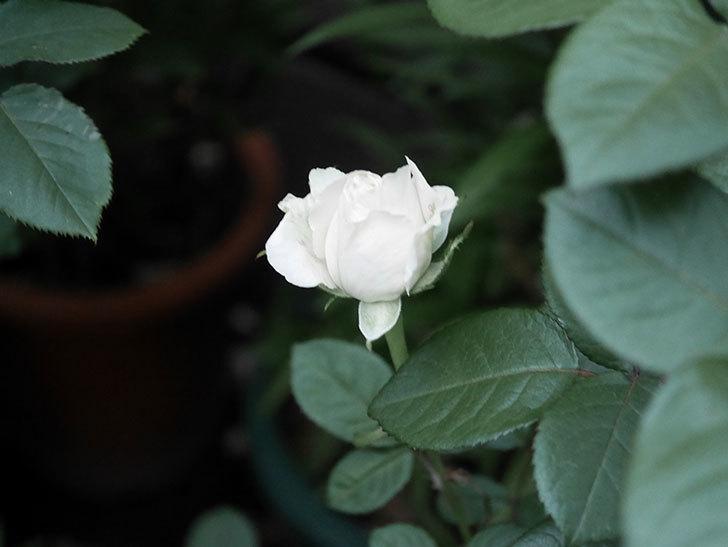インフィニティローズ (Infinity Rose)(ミニバラ)の花が増えてきた。2020年-018.jpg