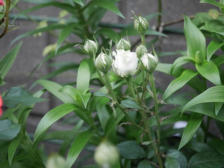インフィニティローズ (Infinity Rose)(ミニバラ)の花が増えてきた。2020年-019.jpg