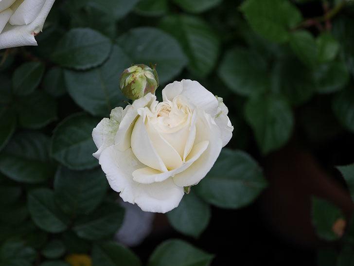 インフィニティローズ (Infinity Rose)(ミニバラ)の花が増えてきた。2020年-020.jpg