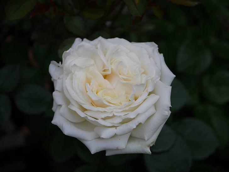 インフィニティローズ (Infinity Rose)(ミニバラ)の花が増えてきた。2020年-021.jpg