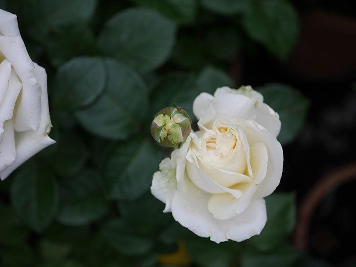 インフィニティローズ (Infinity Rose)(ミニバラ)の花が増えてきた。2020年-022.jpg