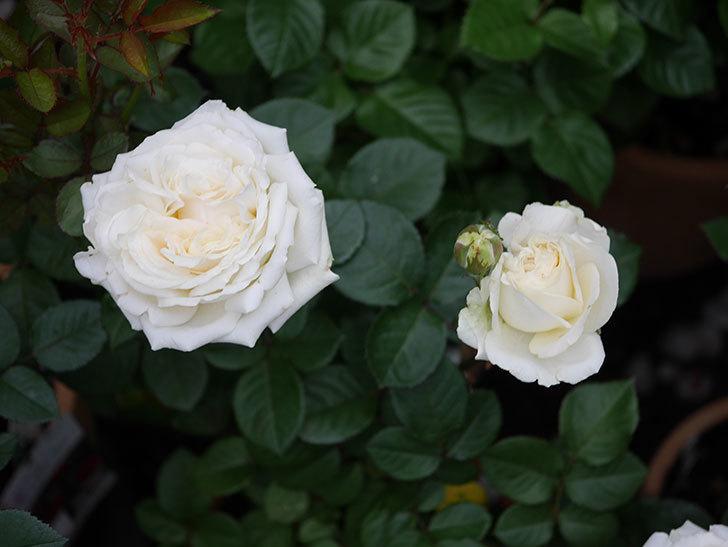 インフィニティローズ (Infinity Rose)(ミニバラ)の花が増えてきた。2020年-023.jpg