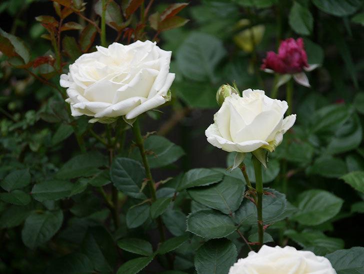 インフィニティローズ (Infinity Rose)(ミニバラ)の花が増えてきた。2020年-024.jpg