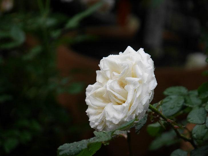 インフィニティローズ (Infinity Rose)(ミニバラ)の花が増えてきた。2020年-025.jpg