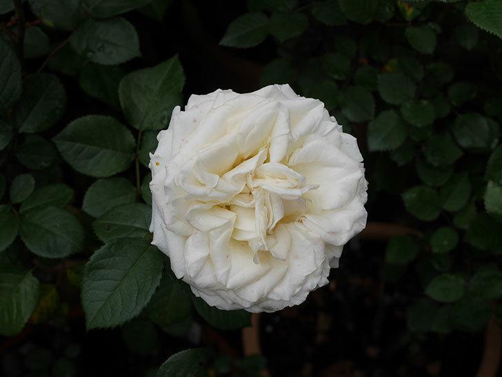インフィニティローズ (Infinity Rose)(ミニバラ)の花が増えてきた。2020年-026.jpg