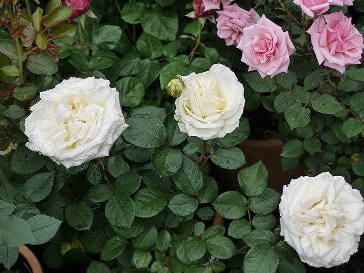 インフィニティローズ (Infinity Rose)(ミニバラ)の花が増えてきた。2020年-027.jpg