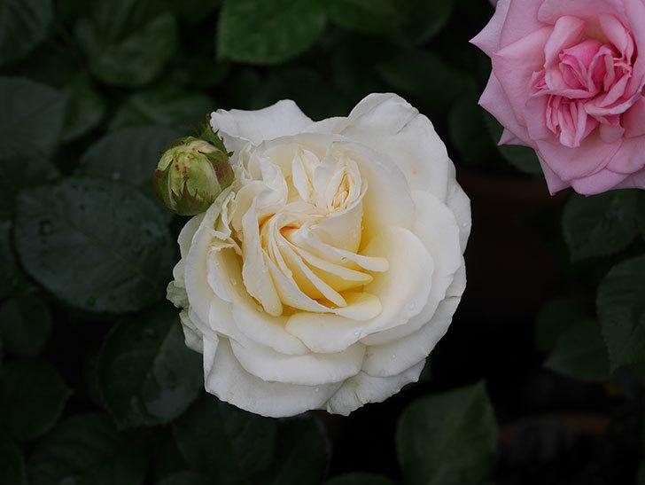 インフィニティローズ (Infinity Rose)(ミニバラ)の花が増えてきた。2020年-028.jpg