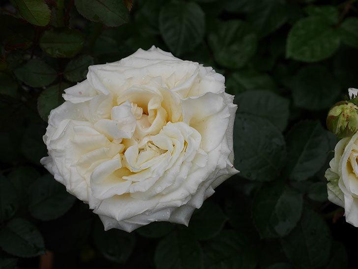 インフィニティローズ (Infinity Rose)(ミニバラ)の花が増えてきた。2020年-029.jpg
