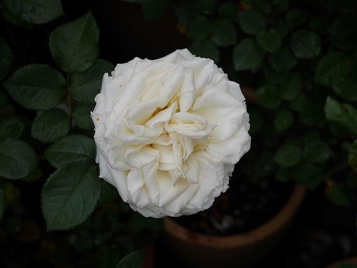 インフィニティローズ (Infinity Rose)(ミニバラ)の花が増えてきた。2020年-030.jpg