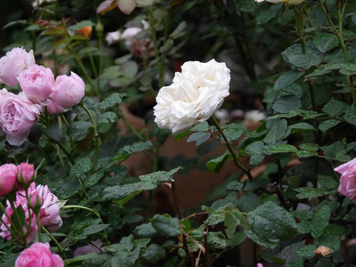 インフィニティローズ (Infinity Rose)(ミニバラ)の花が増えてきた。2020年-031.jpg