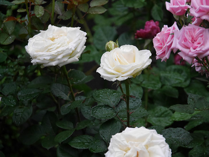 インフィニティローズ (Infinity Rose)(ミニバラ)の花が増えてきた。2020年-032.jpg