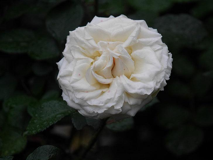 インフィニティローズ (Infinity Rose)(ミニバラ)の花が増えてきた。2020年-033.jpg