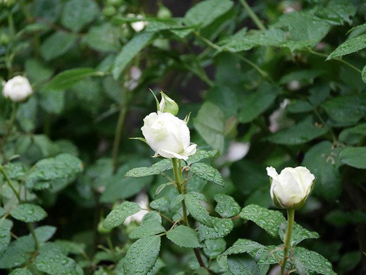 インフィニティローズ (Infinity Rose)(ミニバラ)の花が増えてきた。2020年-034.jpg