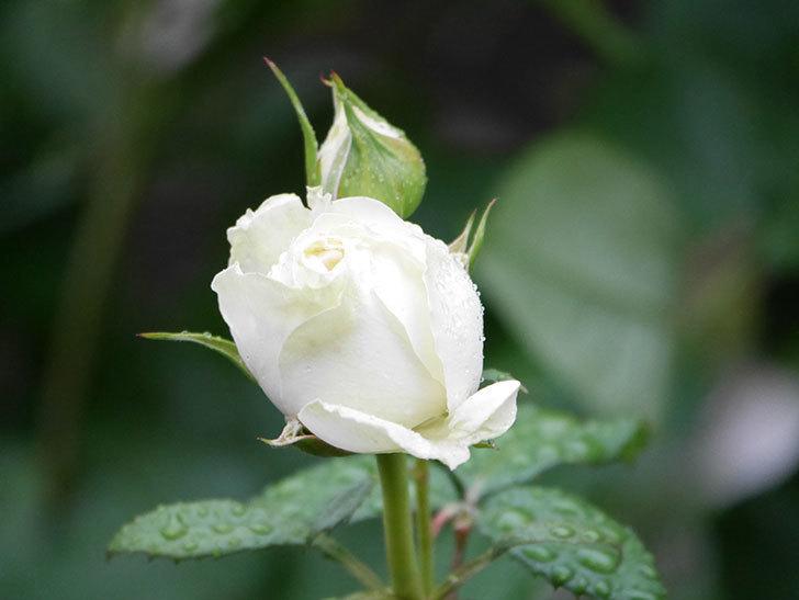 インフィニティローズ (Infinity Rose)(ミニバラ)の花が増えてきた。2020年-037.jpg