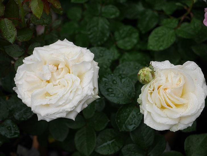 インフィニティローズ (Infinity Rose)(ミニバラ)の花が増えてきた。2020年-038.jpg