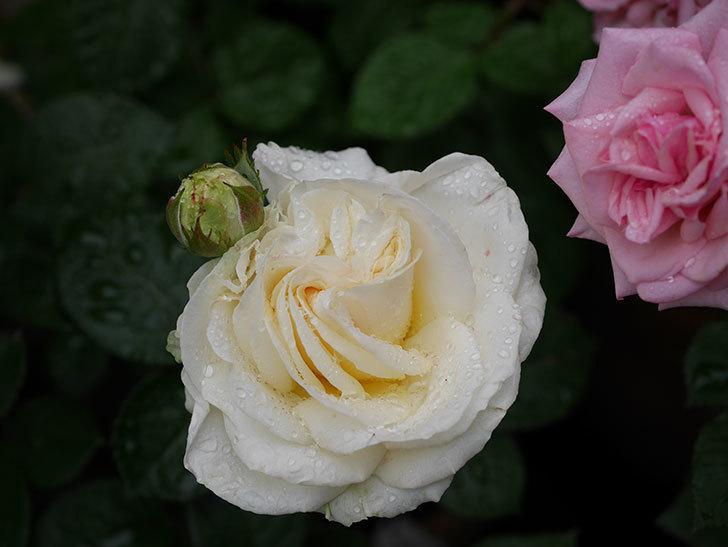 インフィニティローズ (Infinity Rose)(ミニバラ)の花が増えてきた。2020年-039.jpg