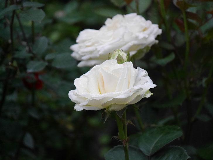 インフィニティローズ (Infinity Rose)(ミニバラ)の花が増えてきた。2020年-040.jpg