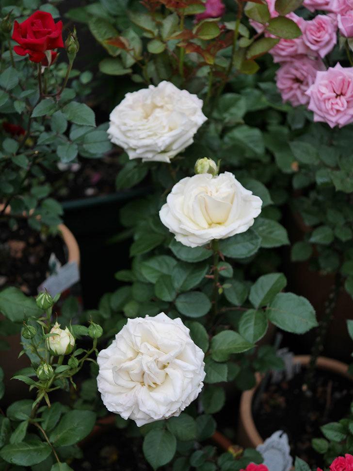 インフィニティローズ (Infinity Rose)(ミニバラ)の花が増えてきた。2020年-041.jpg