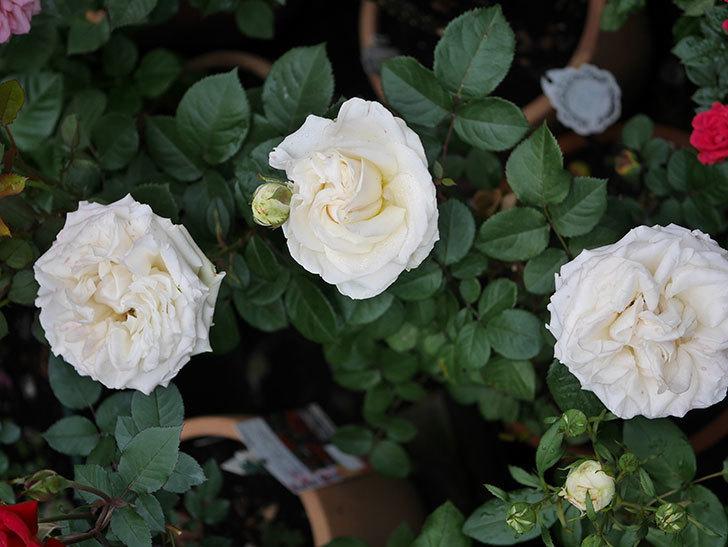 インフィニティローズ (Infinity Rose)(ミニバラ)の花が増えてきた。2020年-042.jpg