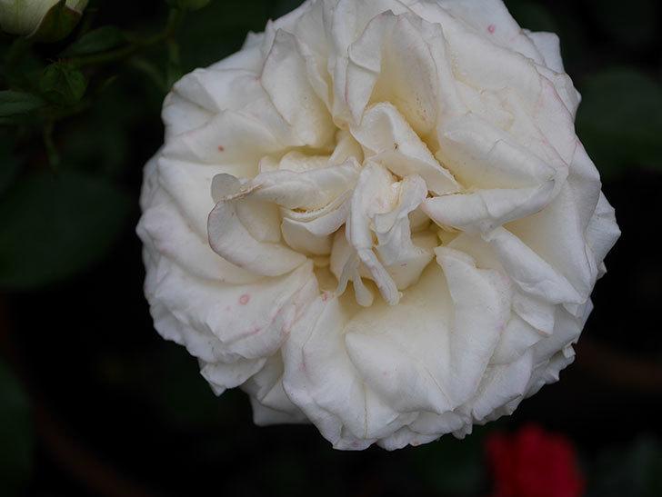インフィニティローズ (Infinity Rose)(ミニバラ)の花が増えてきた。2020年-043.jpg