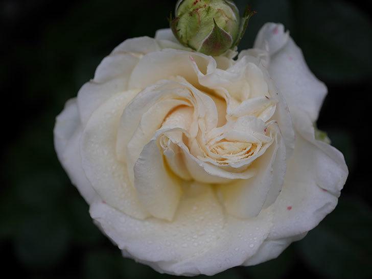 インフィニティローズ (Infinity Rose)(ミニバラ)の花が増えてきた。2020年-044.jpg