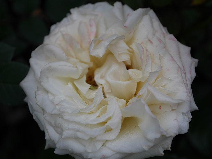 インフィニティローズ (Infinity Rose)(ミニバラ)の花が増えてきた。2020年-045.jpg