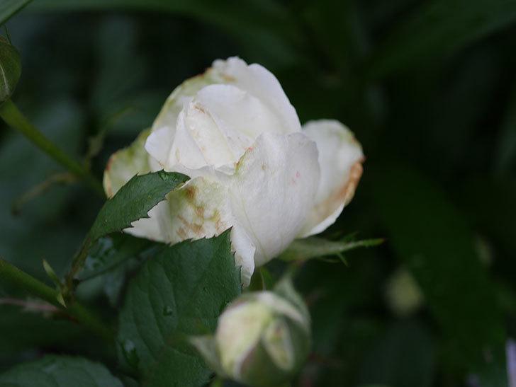 インフィニティローズ (Infinity Rose)(ミニバラ)の花が増えてきた。2020年-046.jpg