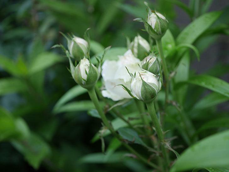 インフィニティローズ (Infinity Rose)(ミニバラ)の花が増えてきた。2020年-047.jpg