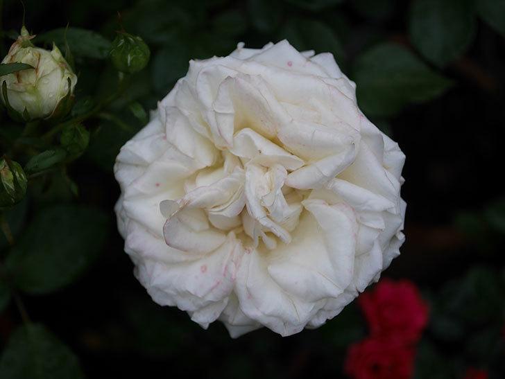 インフィニティローズ (Infinity Rose)(ミニバラ)の花が増えてきた。2020年-048.jpg