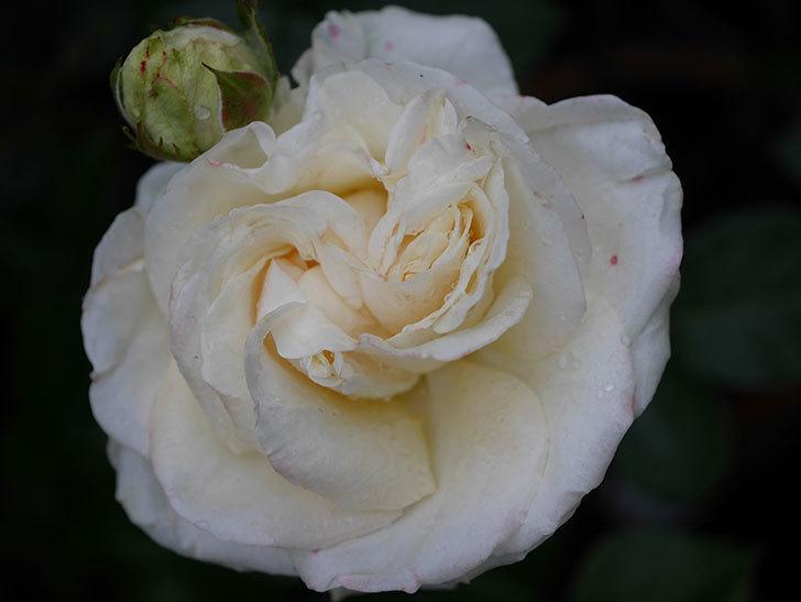 インフィニティローズ (Infinity Rose)(ミニバラ)の花が増えてきた。2020年-049.jpg