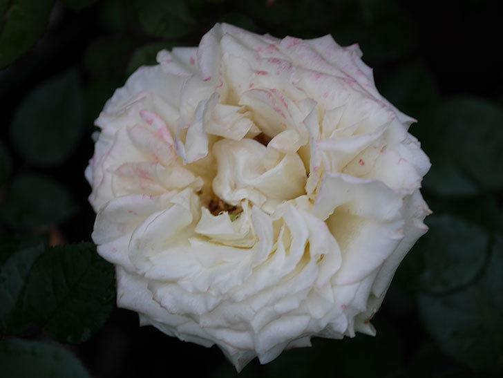 インフィニティローズ (Infinity Rose)(ミニバラ)の花が増えてきた。2020年-050.jpg