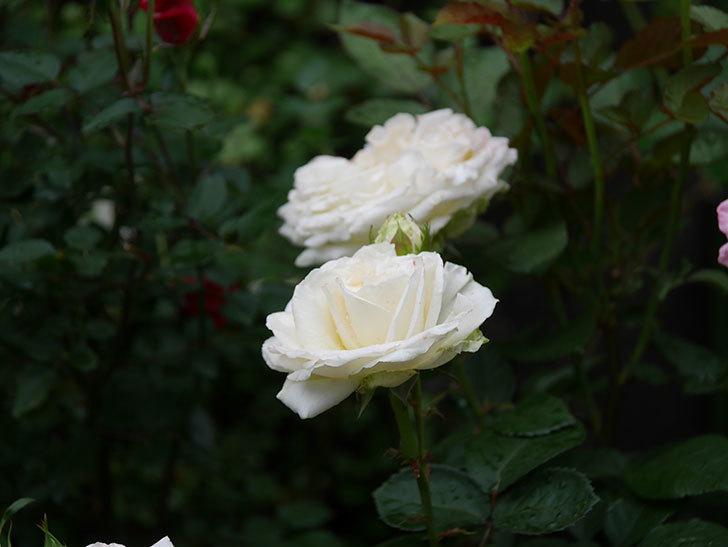 インフィニティローズ (Infinity Rose)(ミニバラ)の花が増えてきた。2020年-051.jpg