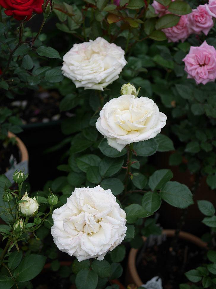 インフィニティローズ (Infinity Rose)(ミニバラ)の花が増えてきた。2020年-052.jpg