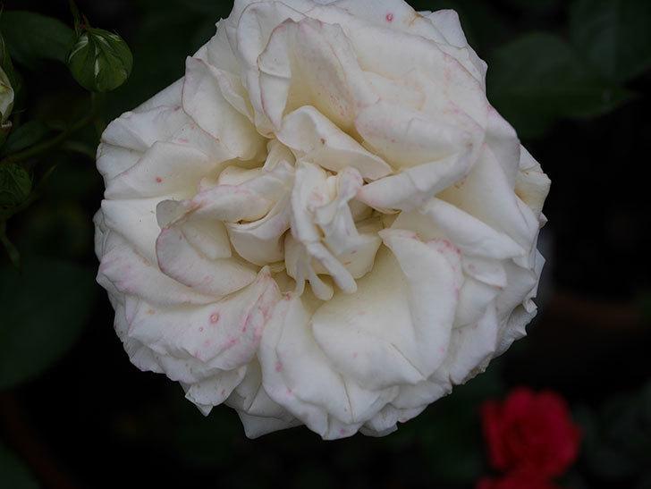 インフィニティローズ (Infinity Rose)(ミニバラ)の花が増えてきた。2020年-053.jpg