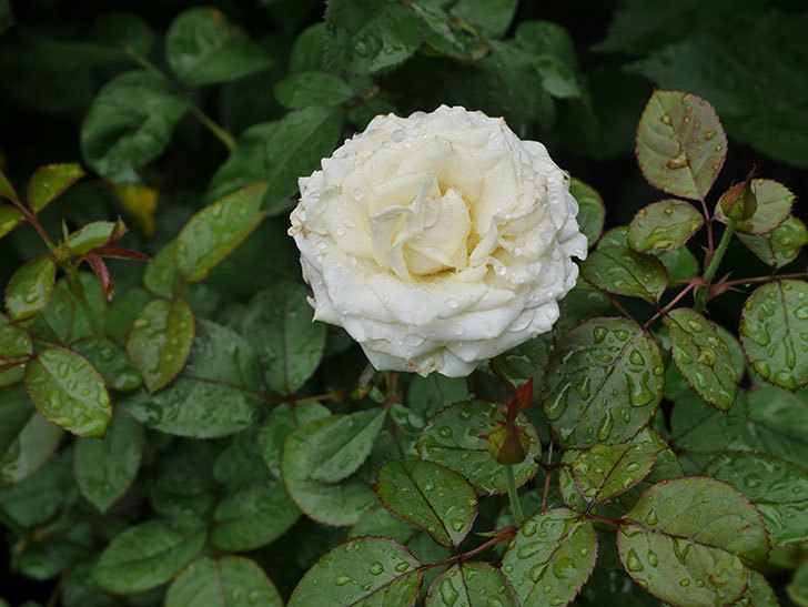インフィニティローズ (Infinity Rose)の2番花が綺麗に咲いた。ミニバラ。2020年-001.jpg