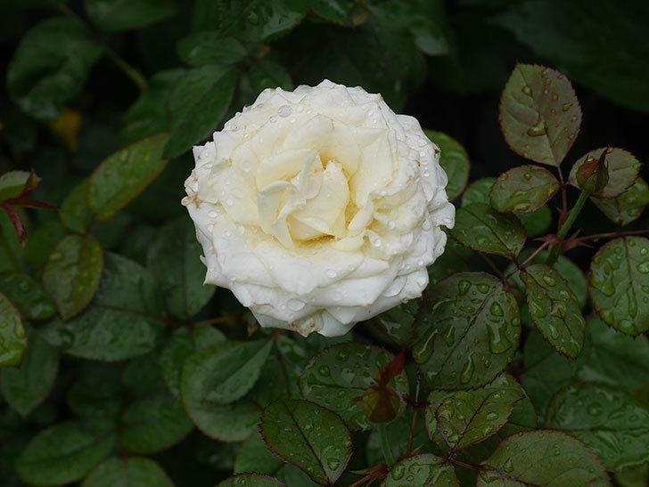 インフィニティローズ (Infinity Rose)の2番花が綺麗に咲いた。ミニバラ。2020年-002.jpg