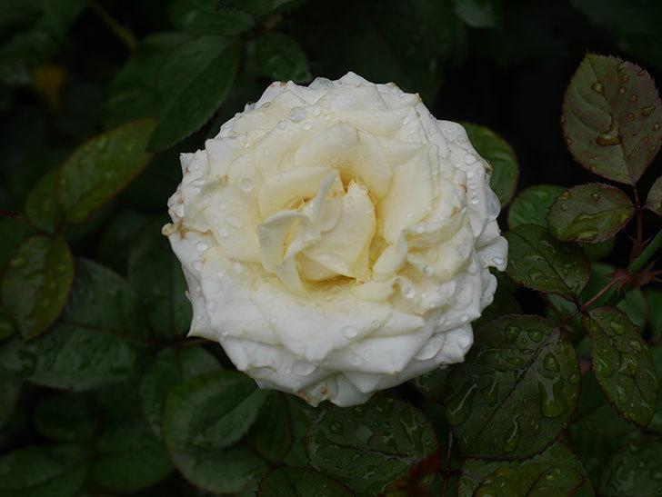 インフィニティローズ (Infinity Rose)の2番花が綺麗に咲いた。ミニバラ。2020年-003.jpg