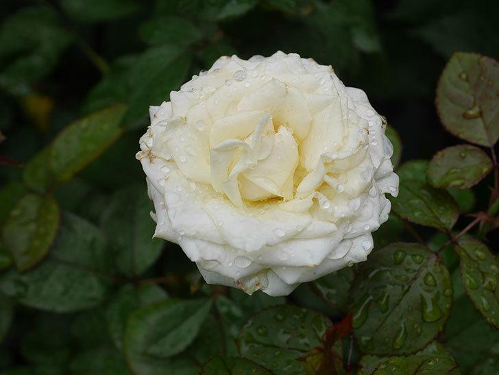 インフィニティローズ (Infinity Rose)の2番花が綺麗に咲いた。ミニバラ。2020年-004.jpg