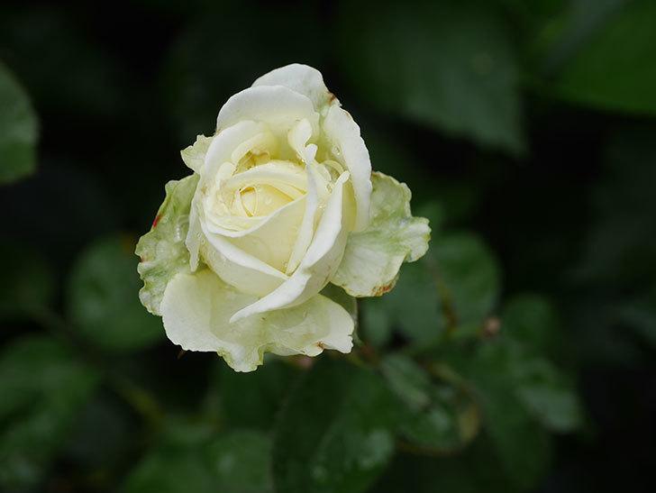 インフィニティローズ (Infinity Rose)の2番花が綺麗に咲いた。ミニバラ。2020年-005.jpg