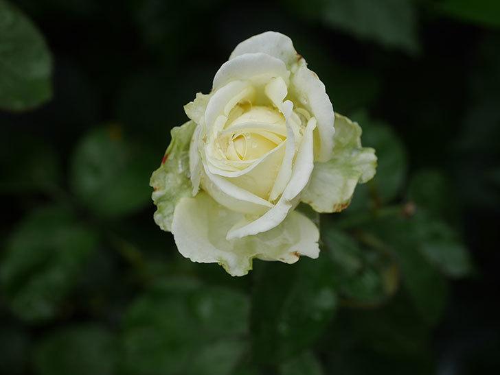 インフィニティローズ (Infinity Rose)の2番花が綺麗に咲いた。ミニバラ。2020年-006.jpg