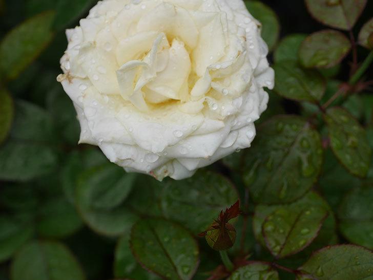 インフィニティローズ (Infinity Rose)の2番花が綺麗に咲いた。ミニバラ。2020年-007.jpg