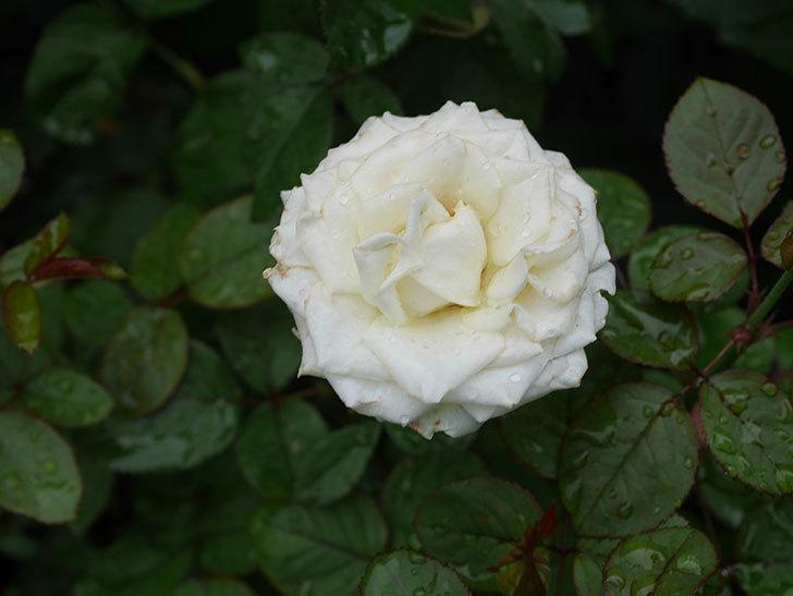 インフィニティローズ (Infinity Rose)の2番花が綺麗に咲いた。ミニバラ。2020年-008.jpg