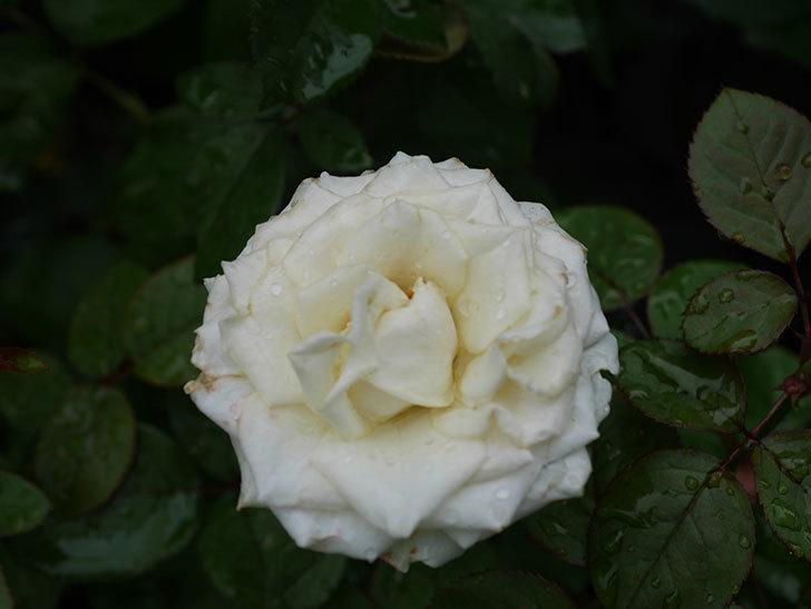 インフィニティローズ (Infinity Rose)の2番花が綺麗に咲いた。ミニバラ。2020年-009.jpg