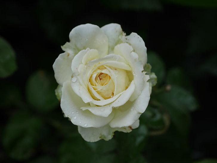 インフィニティローズ (Infinity Rose)の2番花が綺麗に咲いた。ミニバラ。2020年-010.jpg