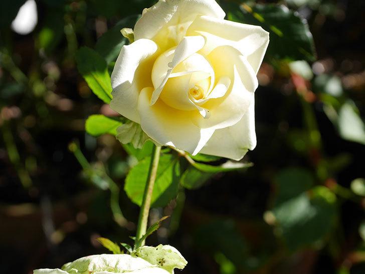 インフィニティローズ (Infinity Rose)の秋花が咲いた。ミニバラ。2020年-001.jpg